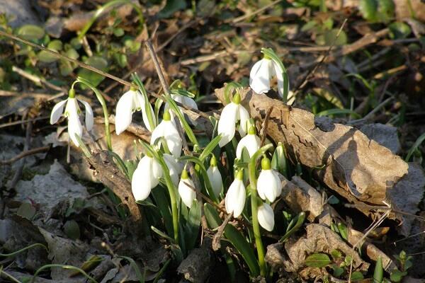 Hóvirágmező borítja tavaszonként a szigetet, kicsik és nagyok örömére. A hóvirág védett, leszedni tilos!
