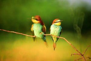 A gyurgyalag védett madár, szívesen költözik a löszfalba. Iváncsán védett telepei vannak